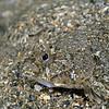 Flatfish (2)<br /> Golf Ball Reef, Redondo Beach, California
