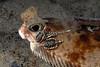 Flatfish: Horny head, with leeches