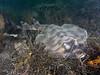 Ray: Zapteryx exasperata, Banded Guitairfish<br /> La Jolla Shores, California USA