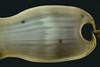 Shark: Cephaloscyllium ventriosum, Swell Shark egg case, with predatory holes<br /> The Platform, Redondo Beach, California
