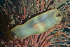 Shark: Ceophaloscyllium ventriosum, Swell Shark egg case<br /> Kevin's Reef, Palos Verdes, California
