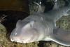 Heterodontus francisci, horn shark<br /> Palos Verdes, California