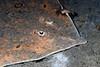Raja rhina, Skate, with Eurydice caudata, Isopod<br /> Redondo Canyon, California