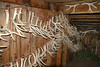 Antlers in the barn<br /> Hilger Ranch