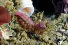 AA: Shrimp ID needed<br /> Santa Cruz Island, California