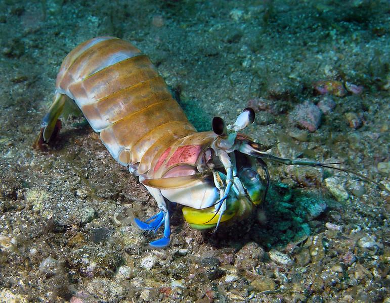 Stomatopoda: Hemisquilla ensigera californiensis<br /> Long Point, Catalina Island, California<br /> April 30, 2005