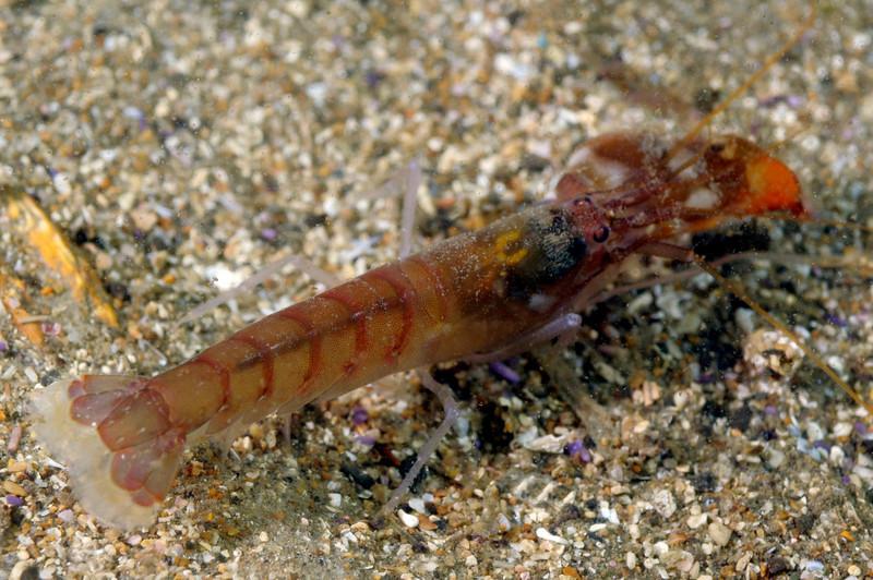 Shrimp: Alpheus clamator, Twistclaw pistol shrimp (?)<br /> Night dive, Palos Verdes
