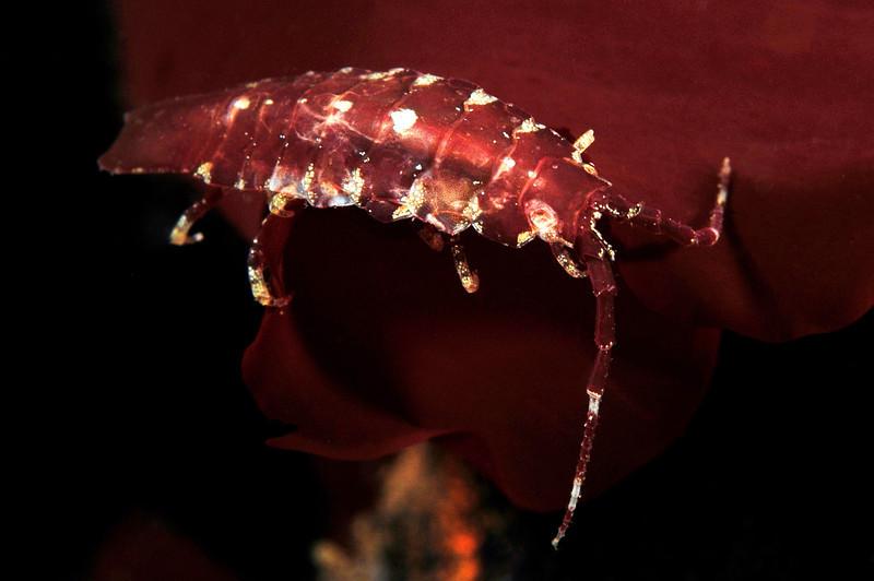 "Isopod<br /> ""The Barge"", Redondo Beach, California"