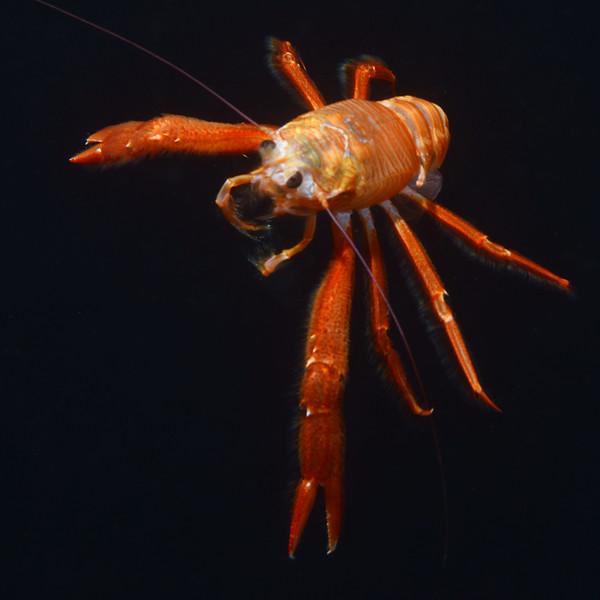Pleuroncodes planipes, Tuna Crab<br /> Black Water Dive, over 1800-1900 feet depth, 2.5 miles off Palos Verdes, California