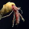 Crab: Orthopagurus minimus, Toothshell Hermit Crab<br /> Garden Spot, Palos Verdes, California