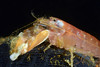 Shrimp: Alpheus bellimanus, Olive Snapping Shrimp<br /> The Barge, Redondo Beach, California<br /> ID thanks to Merry Passage