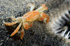 Crab: Opisthopus transversus, family Pinnotheridae, Pea Crab<br /> Golf Ball Reef, Redondo Beach, California<br /> ID thanks to Dr. Mary Wicksten