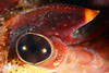 Lobster eye, showing square lattice design.<br /> Golf Ball Reef, Redondo Beach, CA