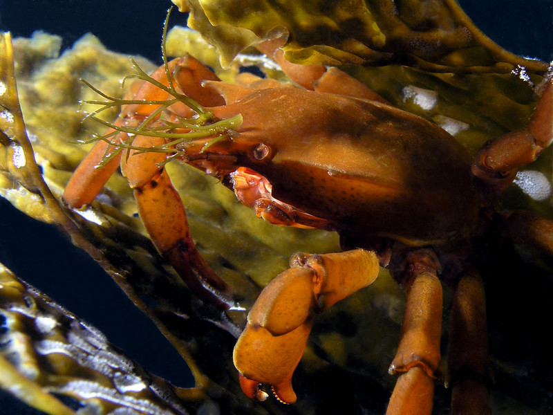 Crab: Pugettia producta, Northern Kelp Crab, note algae adornment<br /> ID thanks to Greg Jensen
