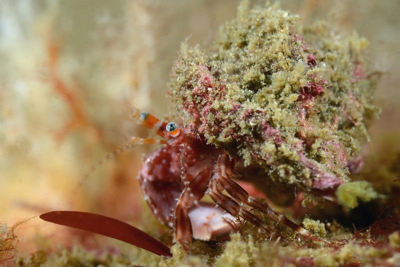Crab:<br /> Golf Ball Reef, Redondo Beach, California