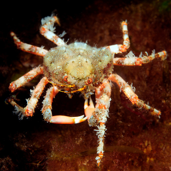 Crab: Herbstia parvifrons<br /> Catalina Island, California<br /> ID thanks to Mary Wicksten