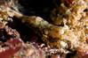 AA: Shrimp ID needed, perhaps Crangonidae<br /> Santa Cruz Island, California