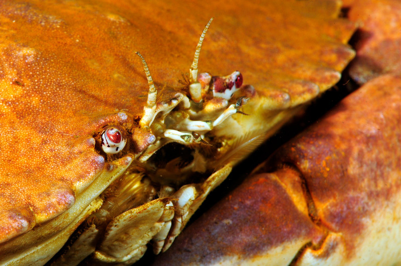 Crab: Metacarcinus anthonyi<br /> The Barge, Redondo Beach, California USA