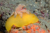 Doriopsilla albopunctata, White-spotted Dorid, with hitchhiking crab.<br /> Golf Ball Reef East, Redondo Beach, California