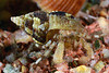 Crab: Hermit Crab<br /> The Barge, Redondo Beach, California