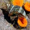 Crab: Pagurus granosimanus, two Grainyhand Hermit crabs<br /> ID thanks to Mary Wicksten<br /> San Miguel Island, California