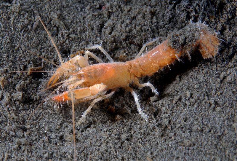 Shrimp: Calocarides spinulicauda.<br /> Redondo Canyon, Redondo Beach, California<br /> ID thanks to Greg Jensen.