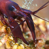 Shrimp: Betaeus macginitieae, Urchin Shrimp<br /> Palos Verdes, California