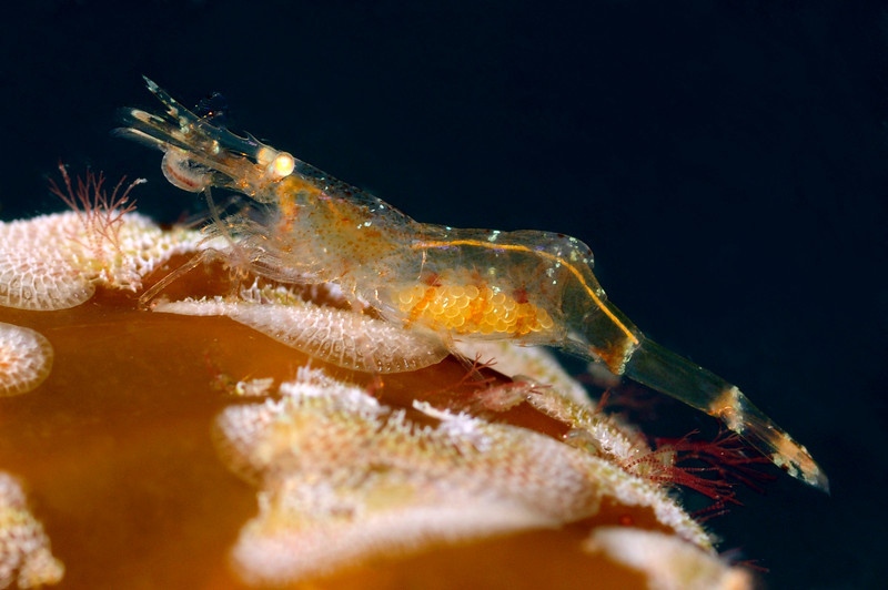 Shrimp: Heptacarpus franciscanus, perhaps, brown color phase.  It may be consuming the amphipod near the mouth.<br /> Marine Room, La Jolla Shores, California<br /> ID thanks to professor Mary Wicksten