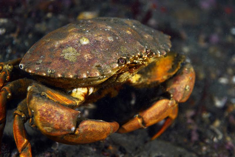 Crab: Metacarcinus anthonyi<br /> The Barge, Palos Verdes, California