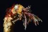 Crab: Orthopagurus minimus, Toothshell Hermit Crab (?)<br /> Golf Ball Reef, Redondo Beach, California