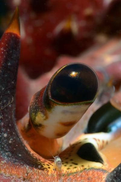 "Note tiny amphipod & ""hairs"" below the eye stalk.<br /> Golf Ball Reef, Redondo Beach, CA"
