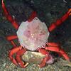 Crab: Taliepus nuttallii, Southern Kelp Crab<br /> Golf Ball Reef, Palos Verdes, California