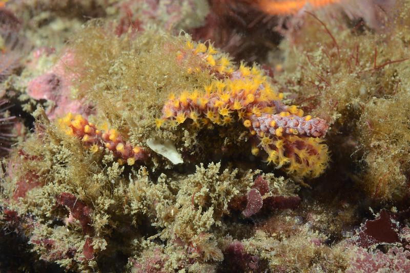 Crab: Decorator Crab<br /> Merry's Reef, Palos Verdes, California
