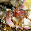 Crab: Phimochirus californiensis, Hermit Crab<br /> Anacapa Island, California<br /> ID thanks to Mary Wicksten