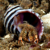 Crab: Paguristes parvus, Island Hermit Crab<br /> Shaw's Cove, Laguna Beach, California<br /> ID thanks to Greg Jensen