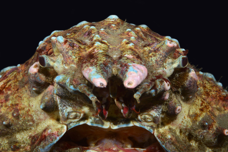 Crab: Loxorhynchus grandis, Sheep Crab<br /> Golf Ball Reef, Redondo Beach, California