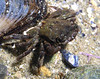 Crab: Pachygrapsus crassipes, Striped Shore Crab
