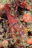 Shrimp: Alpheus bellimanus.<br /> The Barge, Redondo Beach, Palos Verdes, California