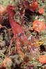 Shrimp: Alpheus bellimanus.<br /> The Barge, Redondo Beach, Palos Verdes, California