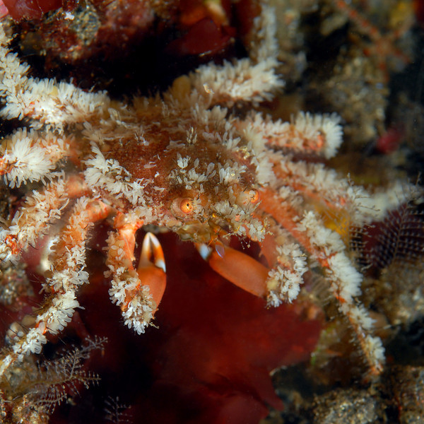 Crab: Herbstia parvifrons, Crevice Spider Crab<br /> ID thanks to Greg Jensen