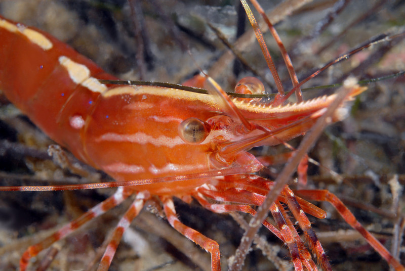 Shrimp: Pandalus platyceros, Spot Shrimp<br /> ID thanks to Greg Jensen