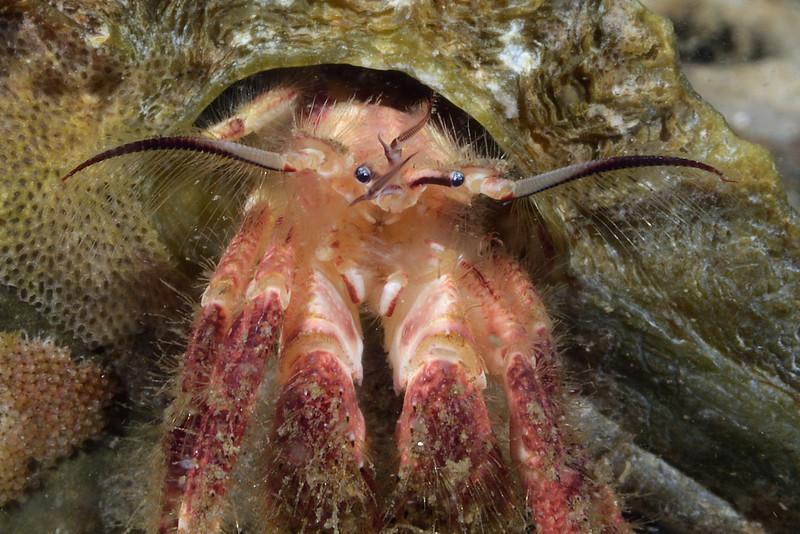 Crab: Paguristes ulreyi, with bryozoans covering shell.<br /> The Barge, Redondo Beach, Palos Verdes, California