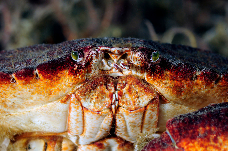 """Crab: Cancer productus. Notice the """"produced"""" front between the eyes.<br /> """"The Pipe"""", El Segundo, California<br /> ID thanks to professor Mary Wicksten"""