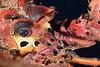 Panulirus interruptus, California Spiny Lobster<br /> Golf Ball Reef, Redondo Beach, California