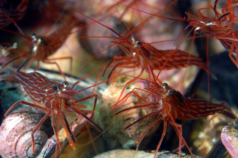 Shrimp: Lysmata californica, Red Rock Shrimp aka Cleaner Shrimp