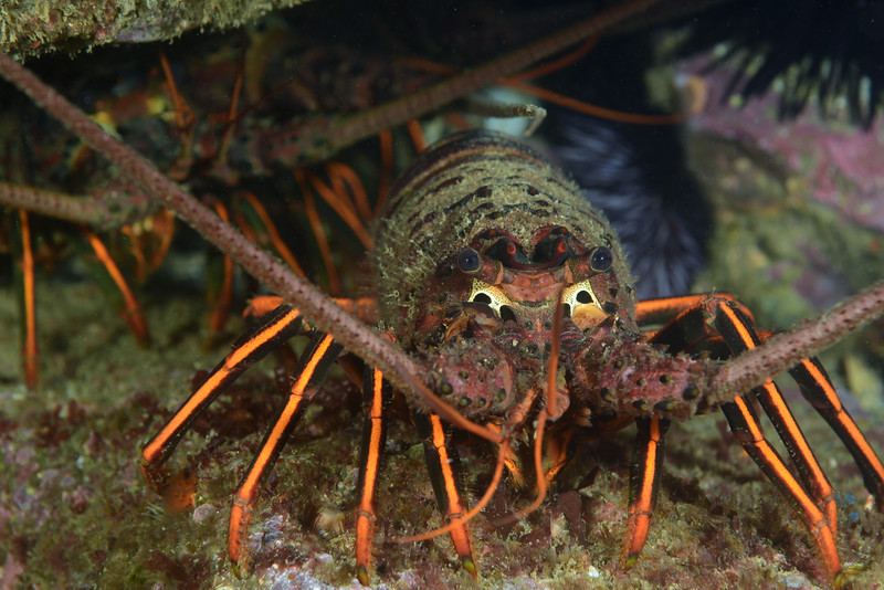 Panulirus interruptus, Lobsters<br /> Palos Verdes, California