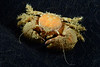 Crab: Pachycheles holosericus, a porcelain crab<br /> West Golf Ball Reef, Redondo Reef, California<br /> ID thanks to Dr. Mary Wicksten