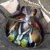 Stomatopoda: Hemisquilla ensigera californiensis, Mantis Shrimp<br /> Garden Spot, Palos Verdes, California