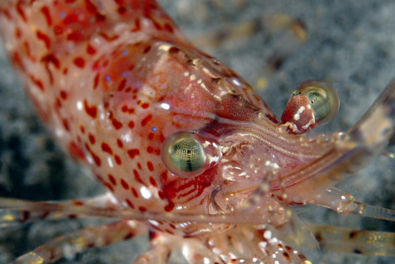 Shrimp: Pandalus stenolepis, Rough Patch Shrimp