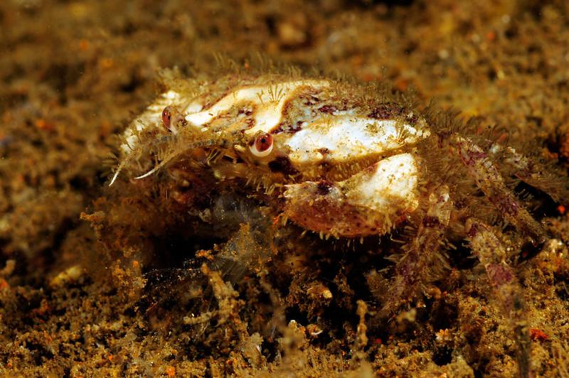 Crab: Romaleon jordani, likely, inside the Barge, Redondo Beach, California.<br /> ID thanks to professor Mary Wicksten, Texas A&M.